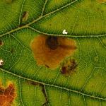 Tischeria dodonaea - Neerpelt ~ Het Hageven (Limburg) 13-10-2018 ©Steve Wullaert