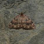 Triphosia dubitata -  Aywaille ~ Carrière de la Falize (Luik) 12-09-2020 ©Steve Wullaert