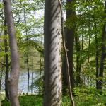 Zimmermannia liebwerdella op Fagus sylvatica - Kelmis ~ Altenberg (Luik) 09-05-2021 ©Steve Wullaert