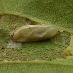 Phyllonorycter ulmifoliella - Berkenvouwmot