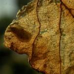 Perittia obscurepunctella - Kamperfoeliemineermot