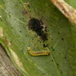 Phyllonorycter corylifoliella - Vruchtboomvouwmot