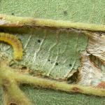 Phyllonorycter strigulatella - Fraaie elzenvouwmot
