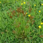 Coleophora otidipennella - Vroege veldbieskokermot