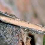 Batrachedra pinicolella - Gele smalvleugelmot