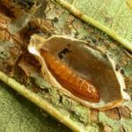 Phyllonorycter froelichiella - Oranje elzenvouwmot