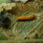 Phyllonorycter salicicolella - Wilgenvouwmot