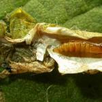 Phyllonorycter sorbi - Lijsterbesvouwmot