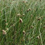 Bolboschoenus maritimus ook bekend als Scirpus maritimus ~ KU Leuven ©Paul Busselen